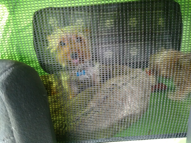 Teddy is comfy with his own bed and toys as he commutes to Comfy HQ for home boarding